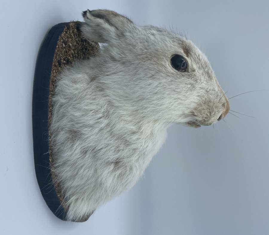 Beautiful Antique Taxidermy Mounted Arctic Hare Head