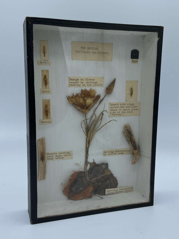 Victorian Cased Taxidermy The Earwig Lifecycle T Gerrard & Co Ltd