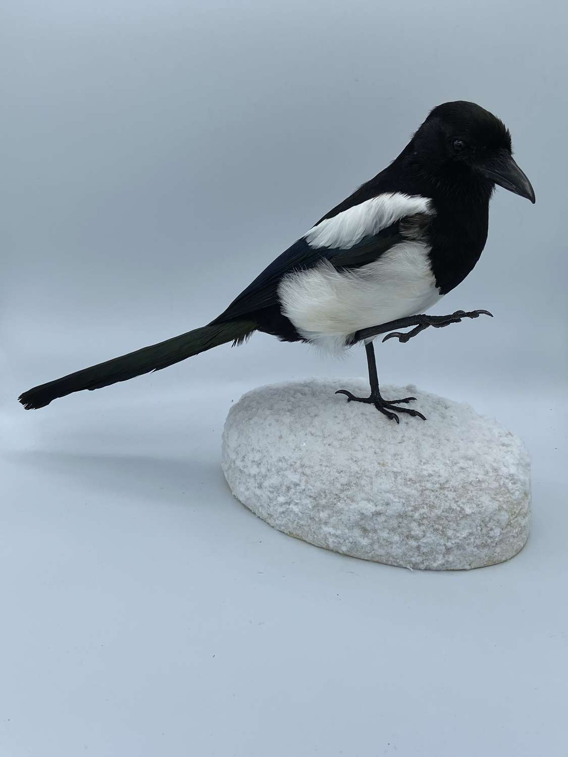 Vintage Beautiful Taxidermy Magpie Mounted On A Snow Mound