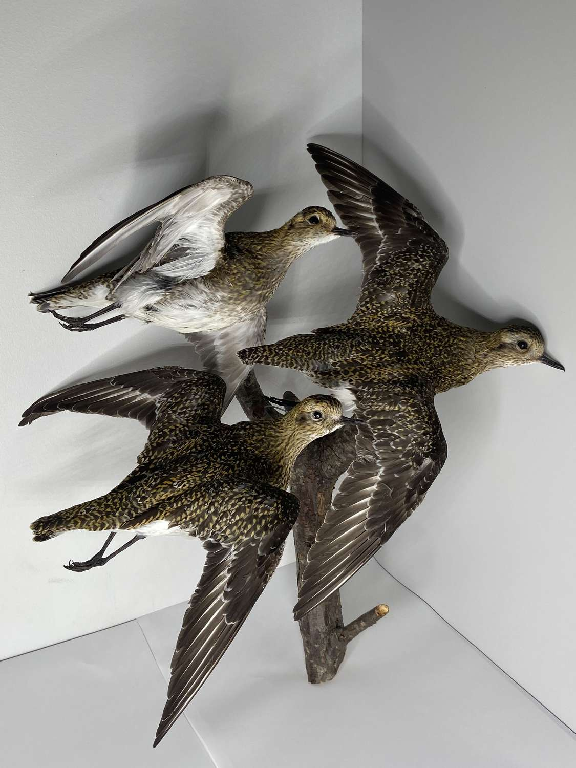 Beautiful Taxidermy Wall Mounted Flying Trio Of Golden Plovers