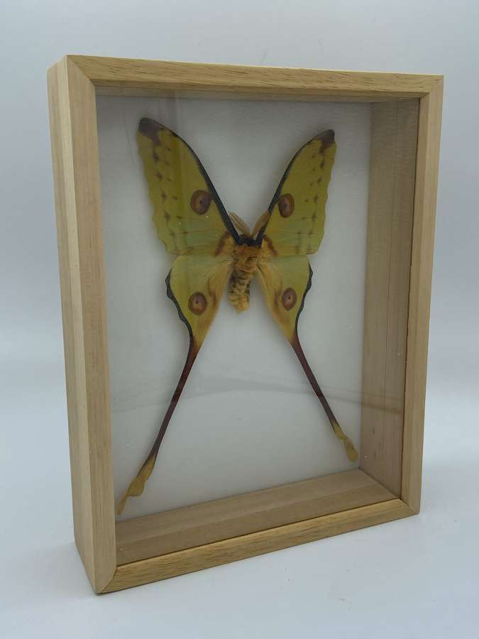 Vintage Taxidermy Framed Male Lunar Moon Moth