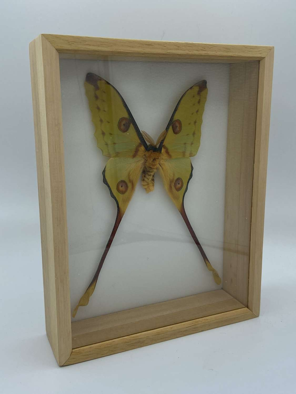 Vintage Taxidermy Framed Male Lunar Moon Moth