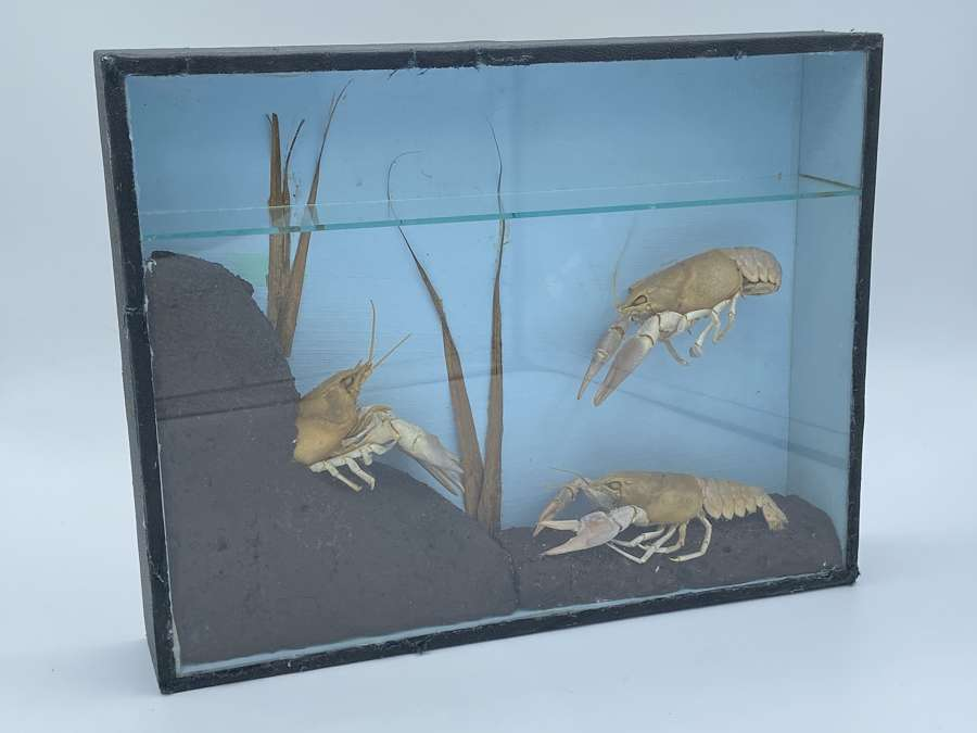 Antique Three Taxidermy Freshwater Crayfish Mounted In Case