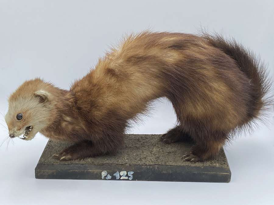 Antique Taxidermy Ferret Dated 1817 Jos Kotting Prague