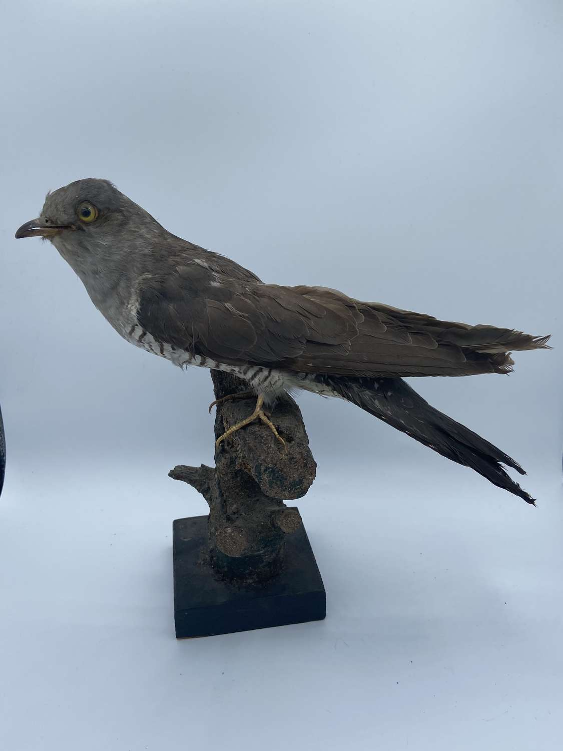 Antique Pre 1947 Taxidermy Mounted Cuckoo Ex Museum Piece