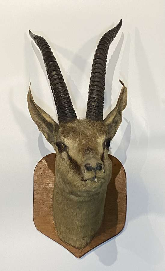 Victorian Big Game Taxidermy Thompson's Gazelle Head