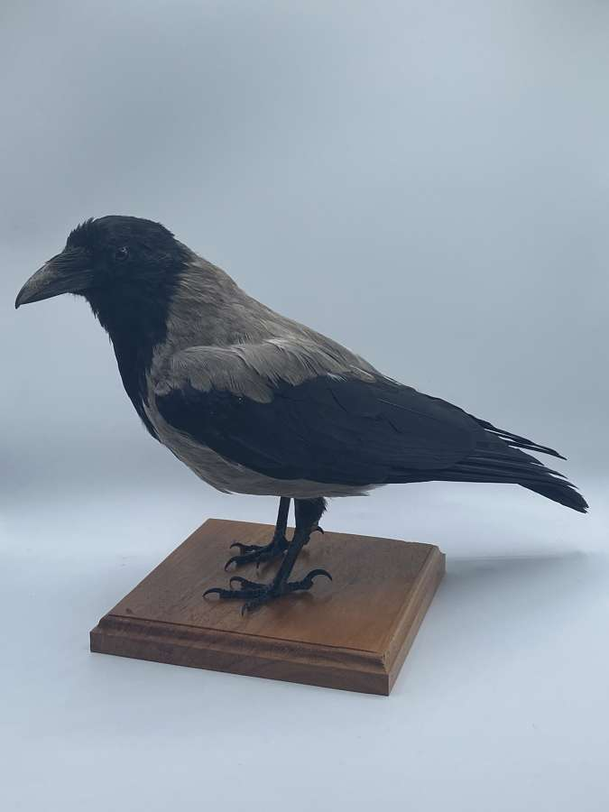 Beautiful Vintage Taxidermy Mounted Hooded Crow