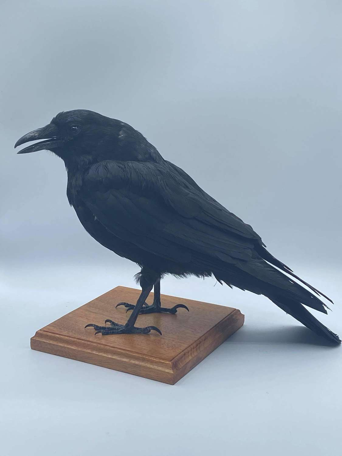 Gothic Antique Taxidermy Mounted Crow