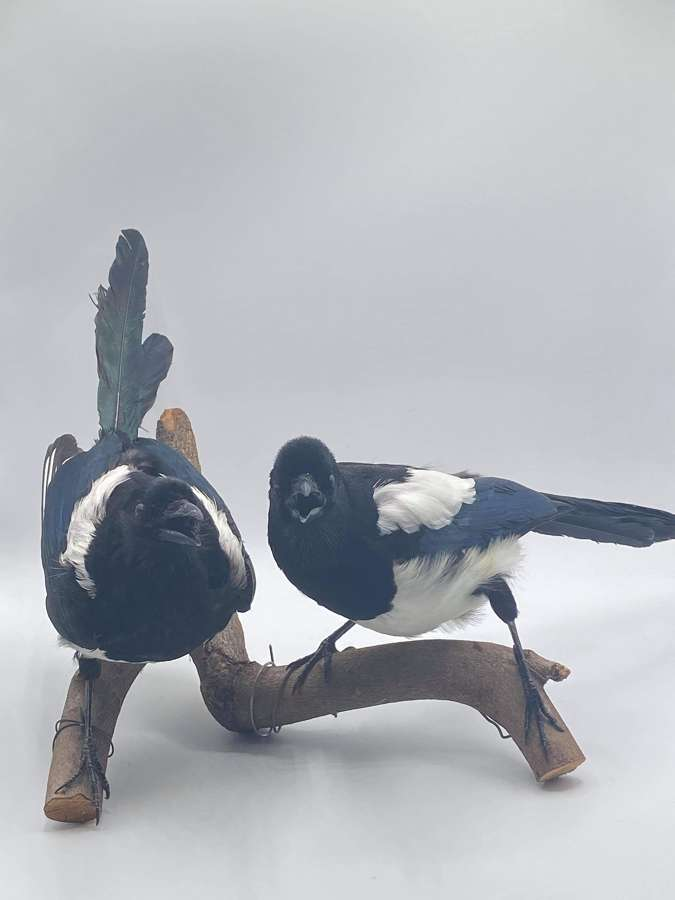 Beautiful Antique Taxidermy 'Two For Joy' Lucky Mounted Magpies