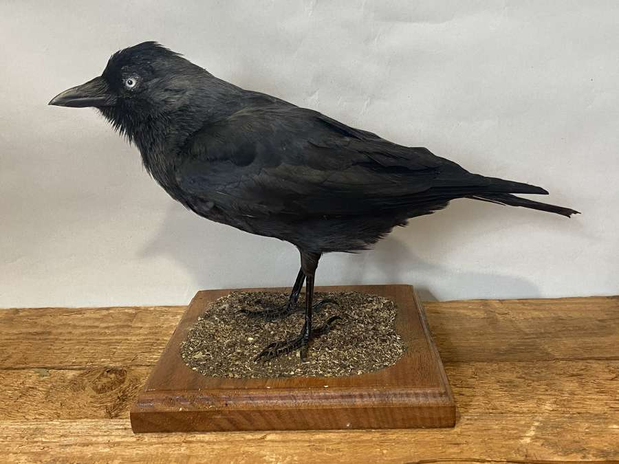 Antique Vintage Taxidermy Mounted Curious Western  Jackdaw