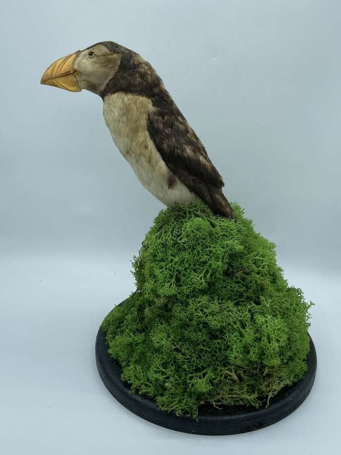 Antique Victorian Taxidermy Re-Mounted Puffin