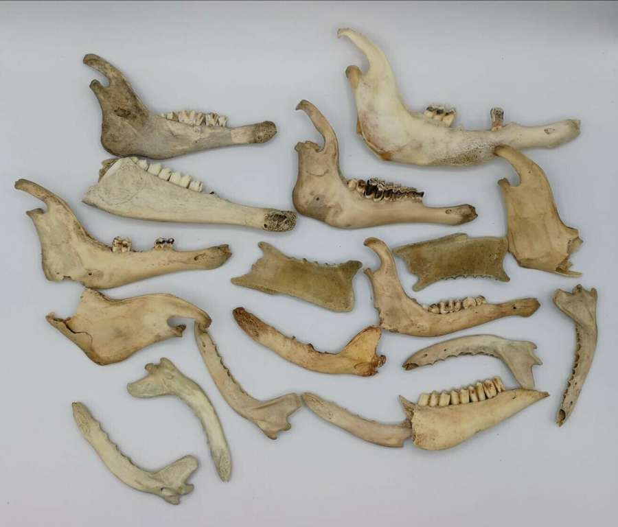 Joblot Of Taxidermy Sheep Lower Jaw Bones