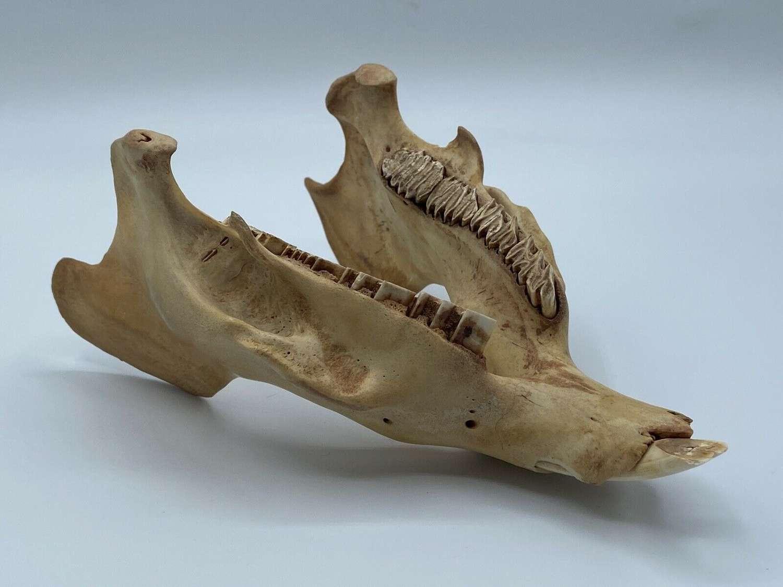 Huge Antique Taxidermy capybara (Hydrochoerus hydrochaeris) Bottom Jaw