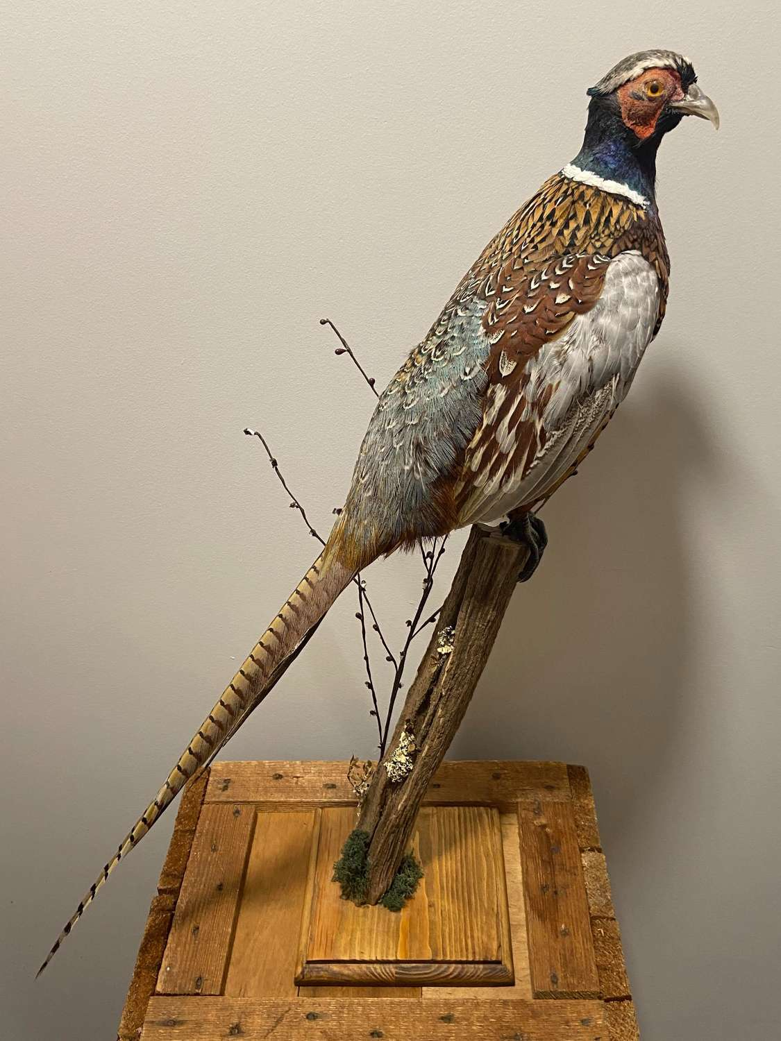 Beautiful Colourful Antique Taxidermy Perched Male Pheasant