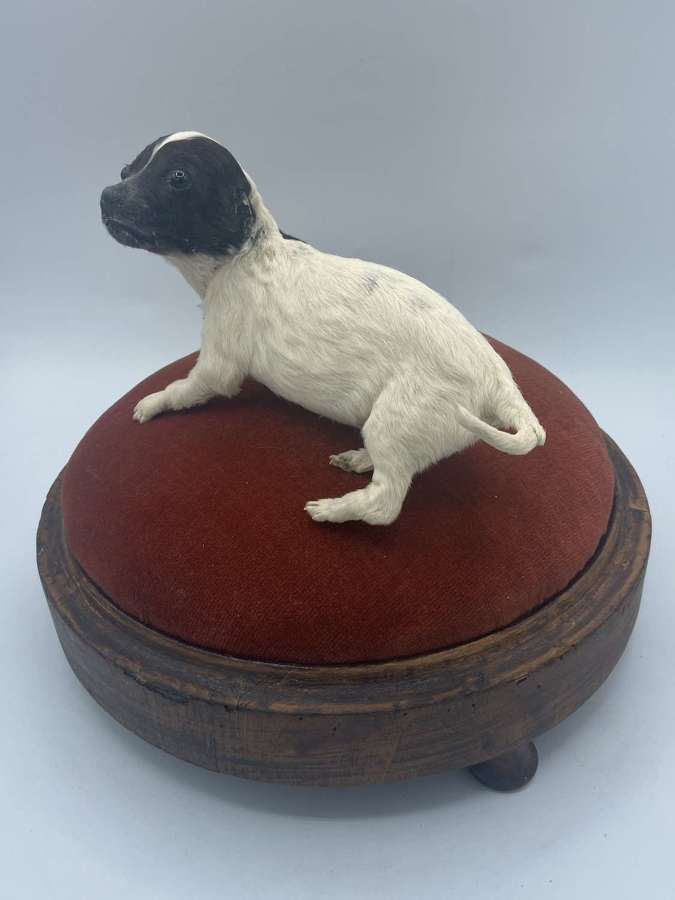 Beautiful Antique Taxidermy Terrier Cross Puppy On Wooden Puff