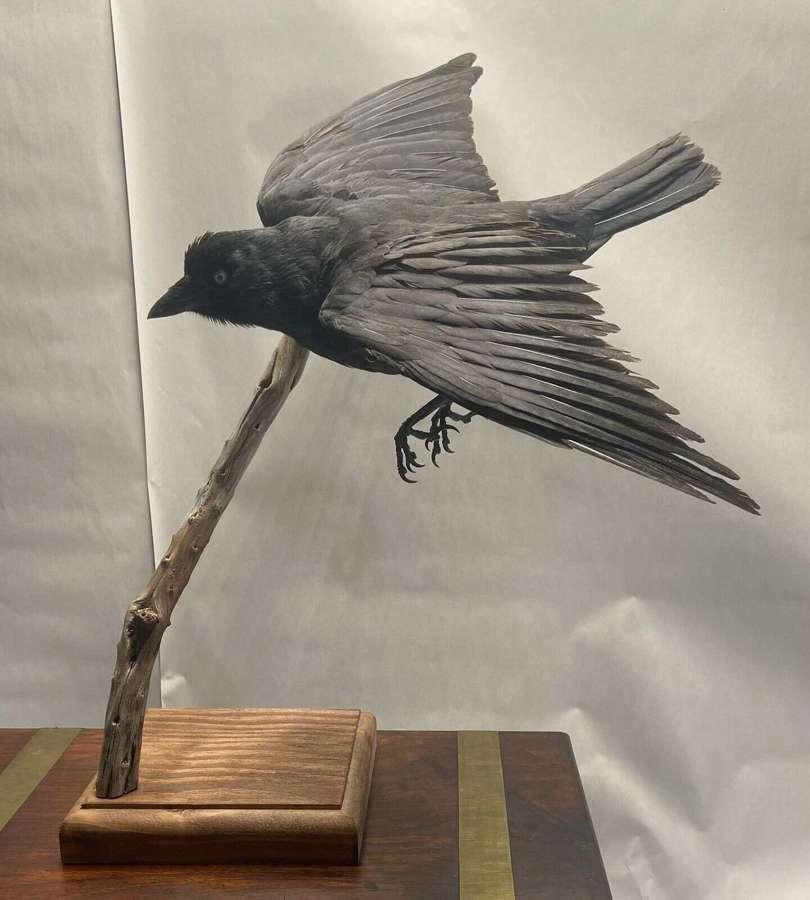 Beautiful Taxidermy Flying Mounted Jackdaw