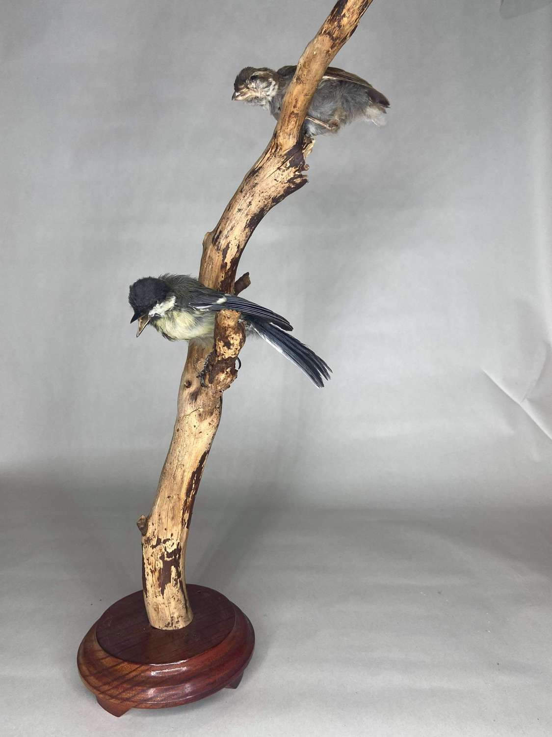Vintage Taxidermy Blue Tit & Fletching Mounted On A Branch