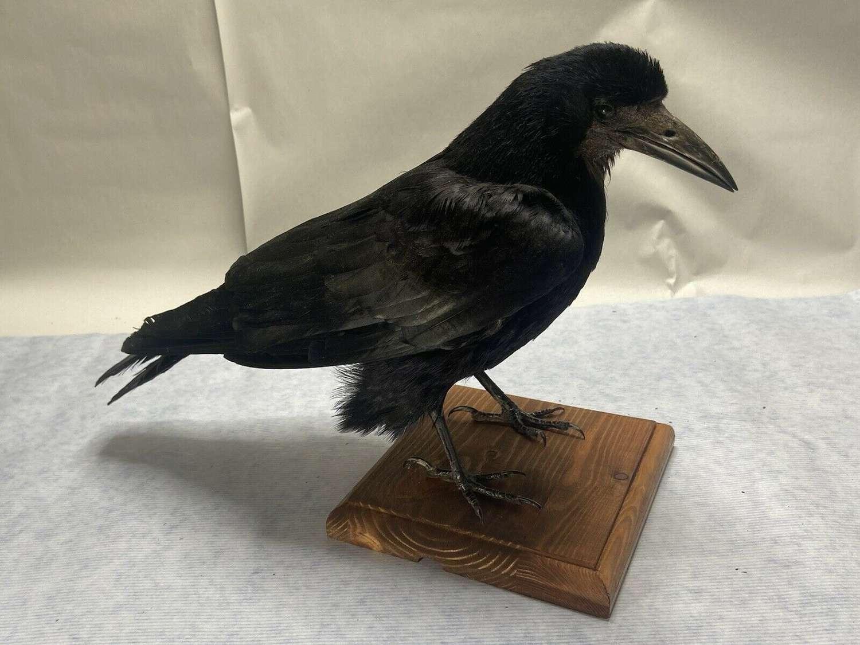 Taxidermy Mounted Standing Rook (Corvus frugilegus)