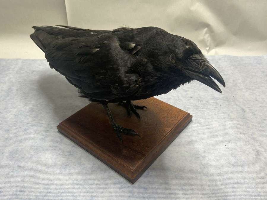 Mounted Taxidermy Game Of Thrones Super Natural 3 Eyed Crow Branden
