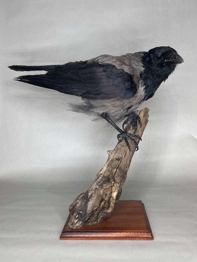 Beautiful Taxidermy Mounted Curious Hooded Crow Corvus Cornix