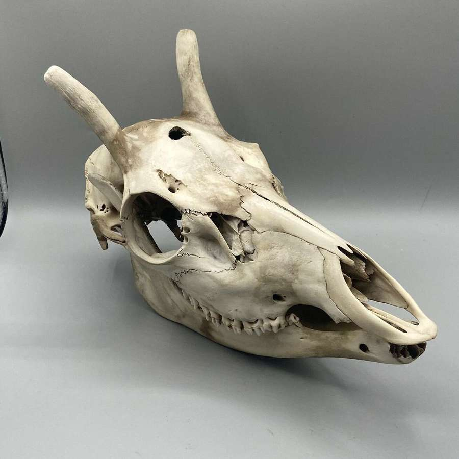 Taxidermy Gothic Large Male Red Deer Skull+Lower Jaw Dragon Lookalike