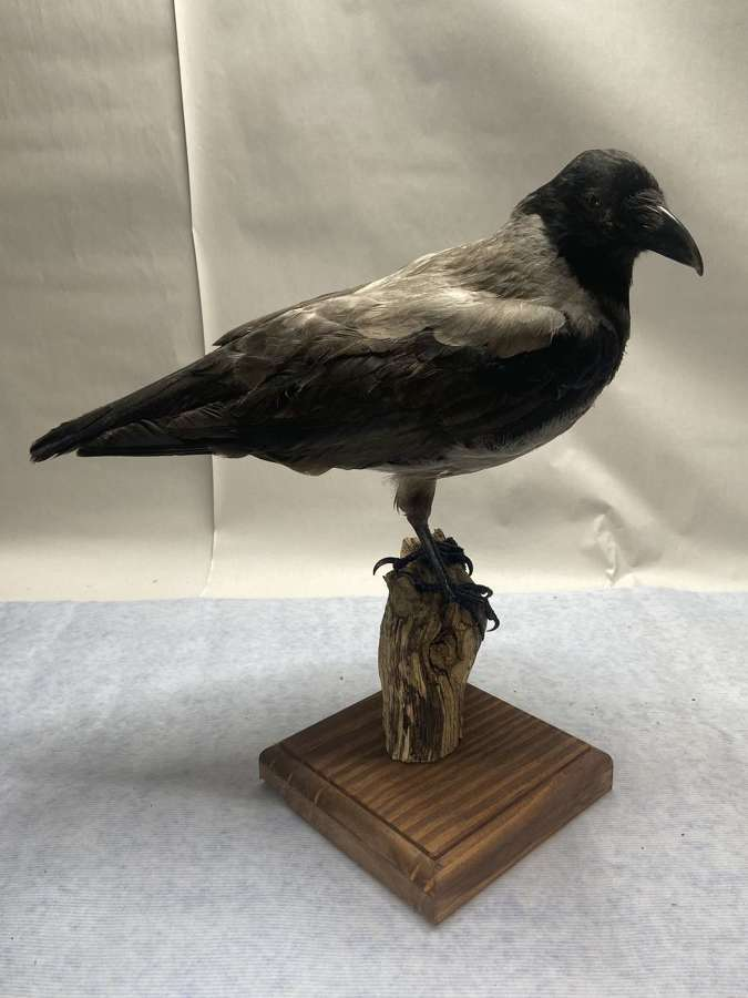 Beautiful Taxidermy Mounted On Perch Curious Hooded Crow Corvus Cornix