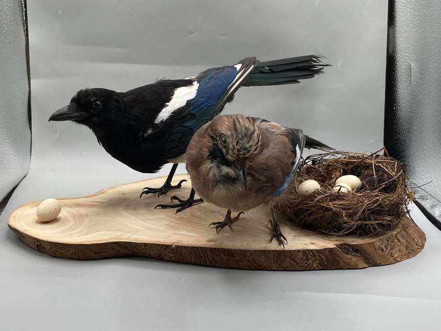 Taxidermy Scenic Display Of A Curios Magpie & Jay Protecting Its Nest
