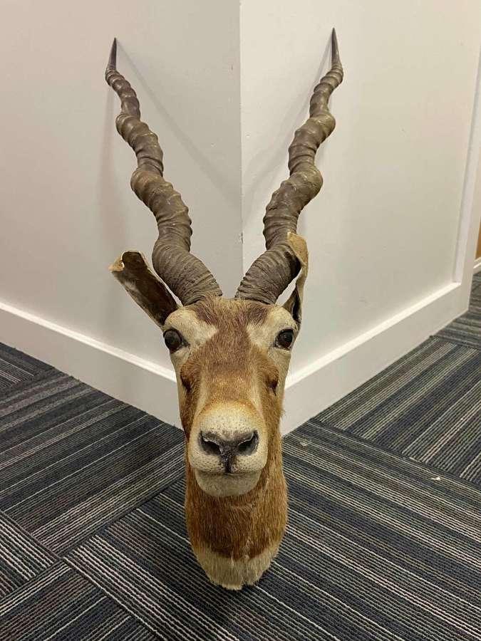 Antique Van Ingen Mysore India Blackbuck Head Antilope Cervicapra