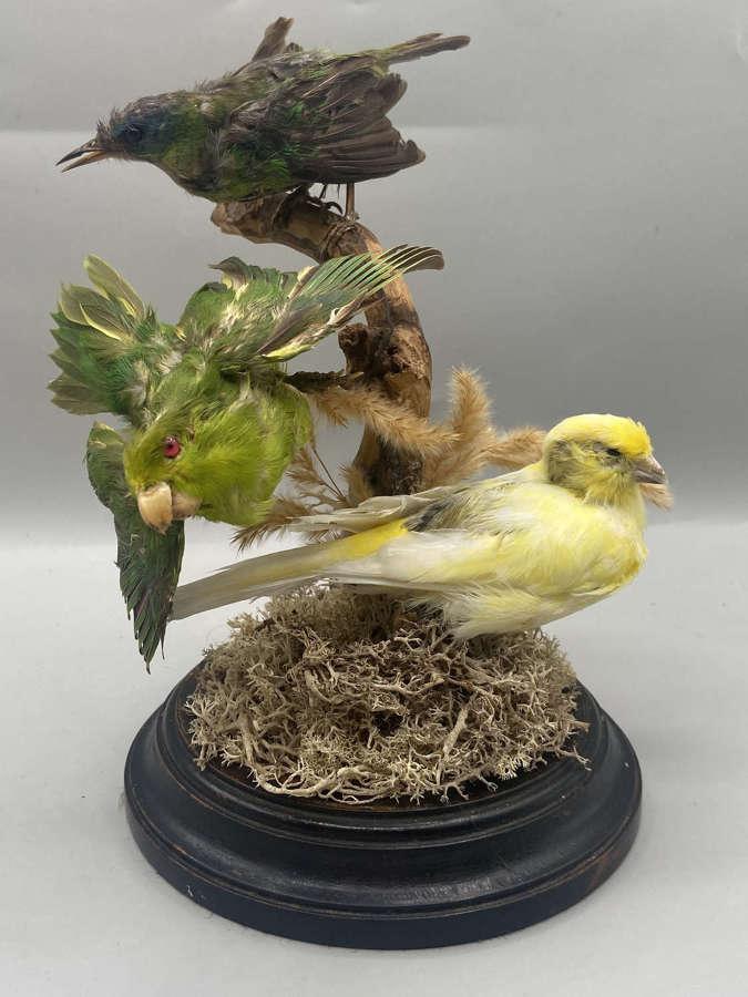 Beautiful Antique 1880s Taxidermy African Exotic Bird Trio Sunbird Etc